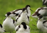 WildLife Photos of Pied Avocet, Recurvirostra avosetta
