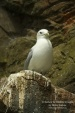 WildLife Photos of Black-legged Kittiwake, Rissa tridactyla