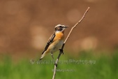 WildLife Photos of Whinchat, Saxicola rubetra