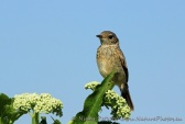 WildLife Photos of Common Stonechat, Saxicola torquata