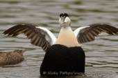 WildLife Photos of Geese, Ducks & others, Common Eider, Somateria mollissima