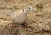 WildLife Photos of Collared Dove, Streptopelia decaocto