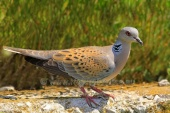 WildLife Photos of European Turtle-dove, Streptopelia turtur