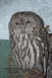 WildLife Photos of Owls & Nightjars, Tawny Owl, Strix aluco