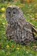 WildLife Photos of Owls & Nightjars, Ural Owl, Strix uralensis