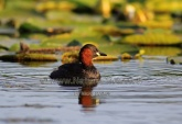 WildLife Photos of Divers & Grebes, Little Grebe, Tachybaptus ruficollis
