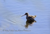 WildLife Photos of Birds, Waders, Spotted Redshank, Tringa erythropus