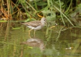 WildLife Photos of Common Redshank, Tringa totanus