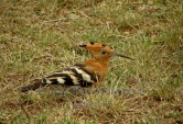 WildLife Photos of Bee-eaters & relatives, African Hoopoe, Upupa africana