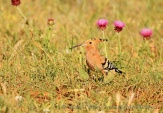 WildLife Photos of Bee-eaters & relatives, Eurasian Hoopoe, Upupa epops