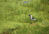 WildLife Photos of Blacksmith Lapwing, Vanellus armatus