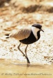 WildLife Photos of Spur-winged Lapwing, Vanellus spinosus