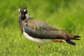 WildLife Photos of Northern Lapwing, Vanellus vanellus