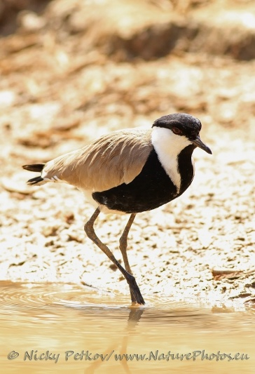 WildLife Photos of Birds, Waders, Spur-winged Lapwing, Vanellus spinosus